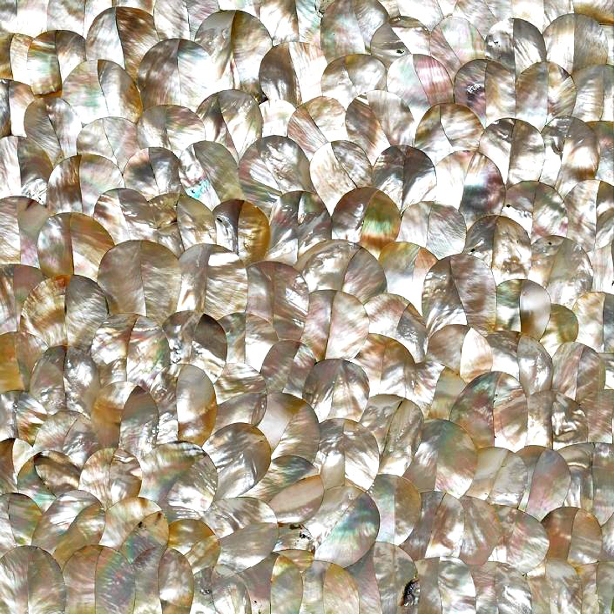 White Mother of Pearl Indian Plumage Seashell, 1 square foot